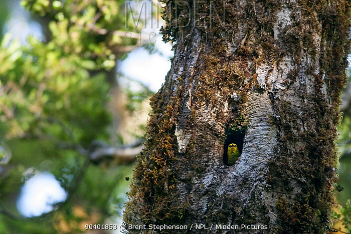 Adult female Yellowhead (Mohoua ochrocephala) peering out from the entrance to its nest in a beech (Nothofagus) tree Haast Pass, West Coast, New Zealand, January Endangered species  -  Brent Stephenson/ npl