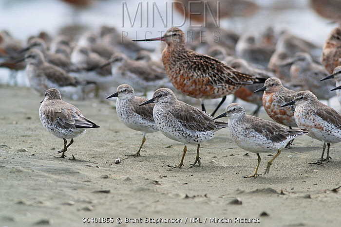Flock of adult Red knots (Calidris canutus) in non-breeding plumage, with individuals on the right moulting into breeding plumage Bar-tailed godwit (Limosa lapponica) also moulting into breeding plumage is in the background Manawatu Estuary, Manawatu, New Zealand, February  -  Brent Stephenson/ npl