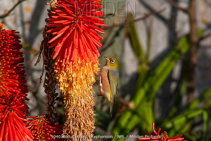 Adult male Silvereye (Zosterops lateralis) feeding on Kniphofia inflorescence Havelock North, Hawkes Bay, New Zealand, July  -  Brent Stephenson/ npl