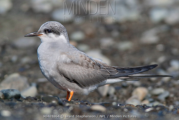 Juvenile Black-fronted tern (Chlidonias albostriatus) resting on a beach This bird is moulting into immature plumage Ngaruroro Rivermouth, Hawkes Bay, New Zealand, August Endangered species  -  Brent Stephenson/ npl