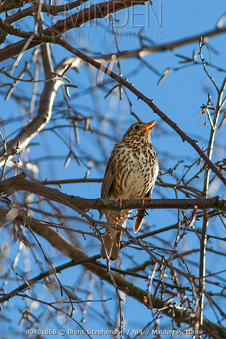 Adult male Song thrush (Turdus philomelos) in full song amongst the branches of a birch tree Havelock North, Hawkes Bay, New Zealand, September  -  Brent Stephenson/ npl