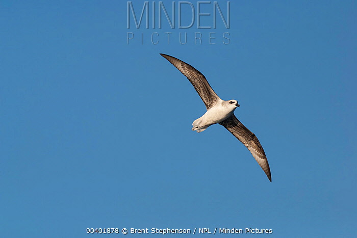 White-headed petrel (Pterodroma lessonii) in flight against a blue sky, showing the underwing Southern Ocean between New Zealand and South America February  -  Brent Stephenson/ npl