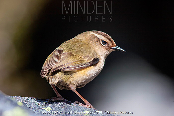 Female South Island, Rock wren (Xenicus gilviventris) perched on a rock in the alpine zone Homer Tunnel, Fiordland National Park, New Zealand, December Vulnerable species  -  Brent Stephenson/ npl