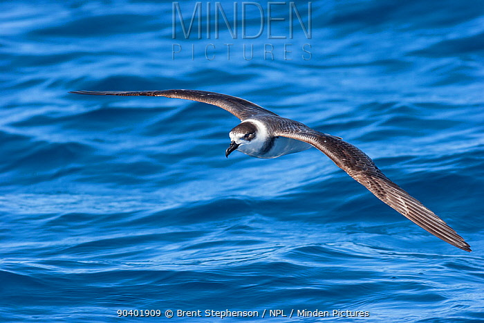 White-naped petrel (Pterodroma cervicalis) in flight over the sea, showing the prominent white collar Tolaga Bay, East Coast, New Zealand, February Vulnerable species  -  Brent Stephenson/ npl
