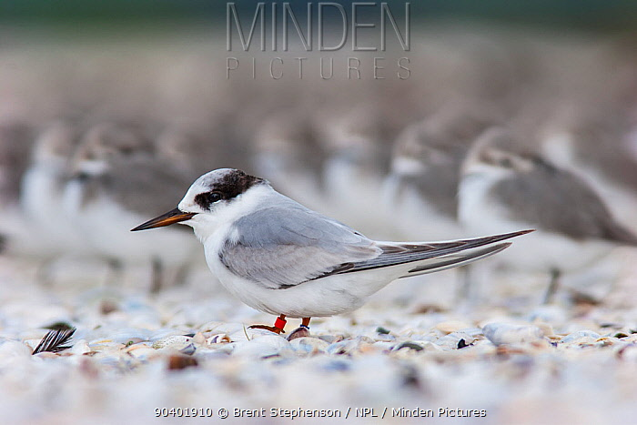 Immature Fairy tern (Sternula nereis davisae) resting on a shellbank This is the incredibly endangered New Zealand subspecies which has less than 50 individuals remaining Miranda, Auckland, New Zealand, July Vulnerable species  -  Brent Stephenson/ npl