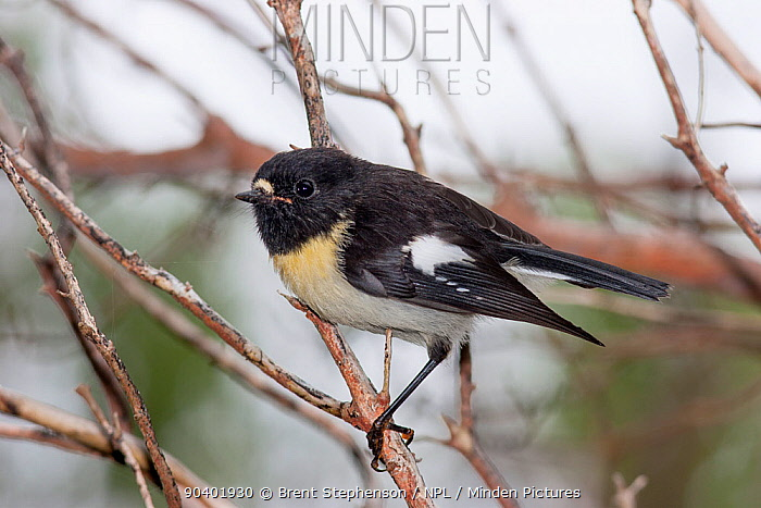 Adult male Tomtit (Petroica macrocephala chathamensis) perched on a branch in forest whilst foraging Pitt Island, Chatham Islands, New Zealand, November  -  Brent Stephenson/ npl