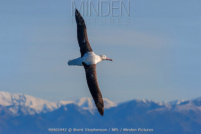 Immature Southern Royal albatross (Diomedea epomophora) in flight showing upperwing with the mountains of Kaikoura in the background Kaikoura, Canterbury, New Zealand, July Vulnerable species  -  Brent Stephenson/ npl