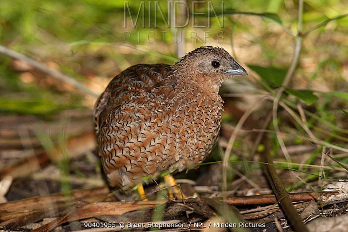 Adult male Brown quail (Coturnix ypsilophora) on the forest floor amongst leaf litter Tiritiri Matangi Island, Auckland, New Zealand, January  -  Brent Stephenson/ npl