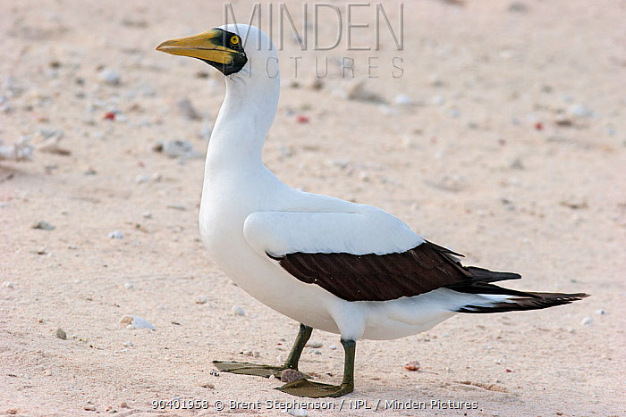 Adult Masked booby (Sula dactylatra) standing on a coral rubble shoreline Wreck Reef, Great Barrier Reef, Australia March  -  Brent Stephenson/ npl