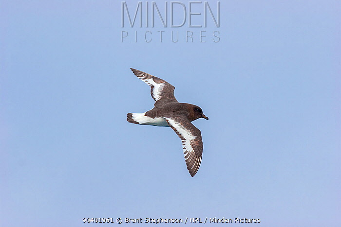 Antarctic petrel (Thalassoica antarctica) in fresh plumage against a blue sky, showing the upperwing Drake Passage, South Atlantic December  -  Brent Stephenson/ npl