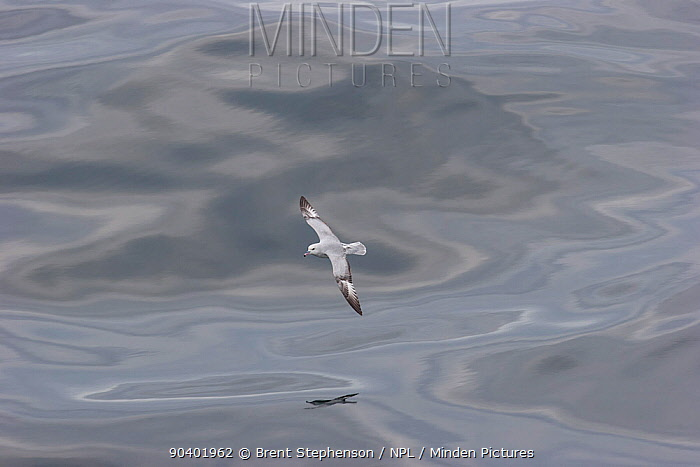 Antarctic fulmar (Fulmarus glacialoides) skimming over an oily sea, showing the upperwing Drake Passage, South Atlantic December  -  Brent Stephenson/ npl
