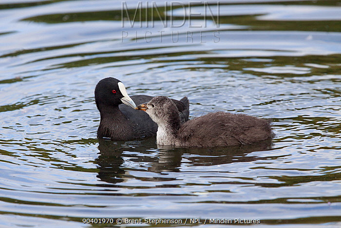 Adult Eurasian coot (Fulica atra) feeding a well developed chick on the water Western Springs Park, Auckland, New Zealand, December Introduced species in New Zealand  -  Brent Stephenson/ npl