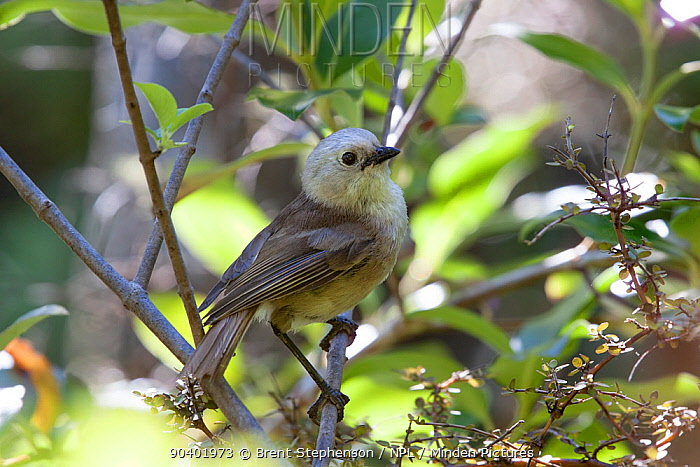 Immature male Whitehead (Mohoua albicilla) in worn plumage, just completing tail moult Tiritiri Matangi Island, Auckland, New Zealand, January  -  Brent Stephenson/ npl