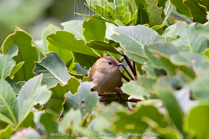 Female South Island or rock wren (Xenicus gilviventris) perched in a low shrub Homer Tunnel, Fiordland National Park, New Zealand, January Vulnerable species  -  Brent Stephenson/ npl