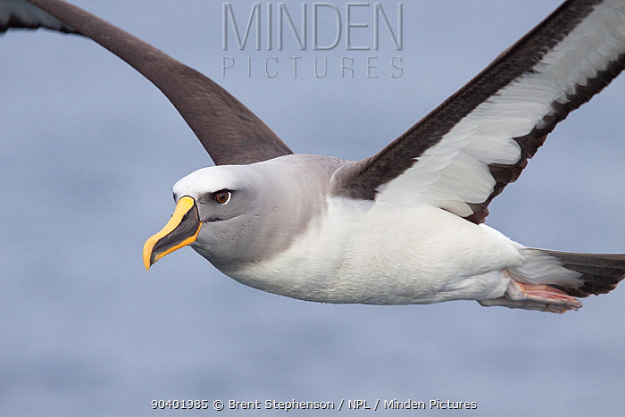 Adult Bullers albatross (Thalassarche bulleri bulleri) in flight showing the underwing and head and bill pattern Off Stewart Island, New Zealand, February Near threatened  -  Brent Stephenson/ npl