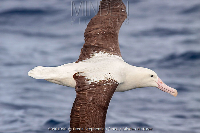 Adult Northern Royal albatross (Diomedea sandfordi) in flight at sea, showing the upperwing pattern and black cutting edge on the bill diagnostic of Royal albatross Off North Cape, New Zealand, April Endangered species  -  Brent Stephenson/ npl