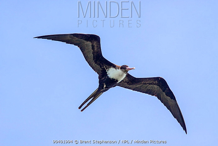 Adult female Lesser frigatebird (Fregata ariel) in flight against a blue sky, showing the underwing and typical breast pattern Gaferut Atoll, Federated States of Micronesia, Pacific April  -  Brent Stephenson/ npl