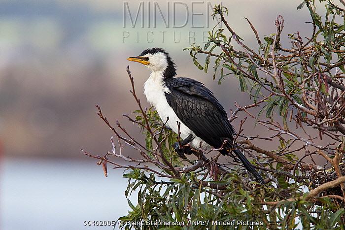 Adult little pied cormorant (Phalacrocorax melanoleucos) perched in a tree Lake Rotorua, Bay of Plenty, New Zealand, July  -  Brent Stephenson/ npl