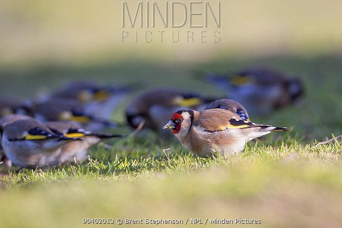 A charm of European goldfinches (Carduelis carduelis) feeding on on seeds amongst short grass Waikanae Estuary, Wellington, New Zealand, August Introduced species in New Zealand  -  Brent Stephenson/ npl