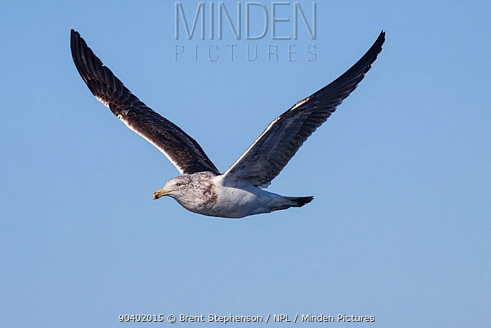 Immature Kelp gull (Larus dominicanus) in flight against a blue sky This is a second year bird, moulting into adult plumage At sea off Wanganui, New Zealand, August  -  Brent Stephenson/ npl