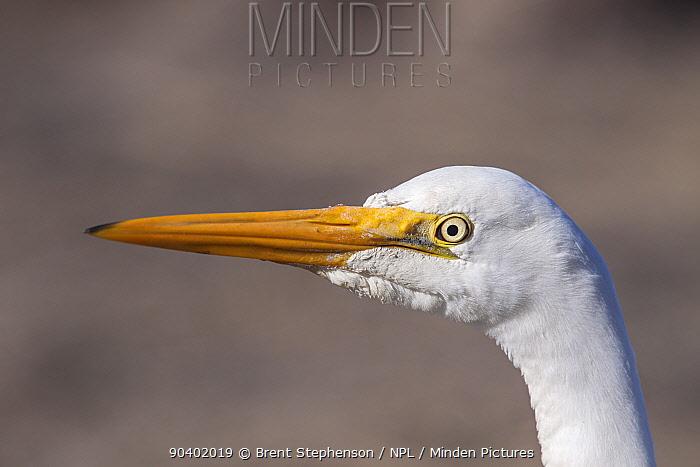 Immature Great egret (Ardea alba modesta) in non-breeding plumage, close-up of head and bill Manawatu Estuary, Manawatu, New Zealand, August  -  Brent Stephenson/ npl