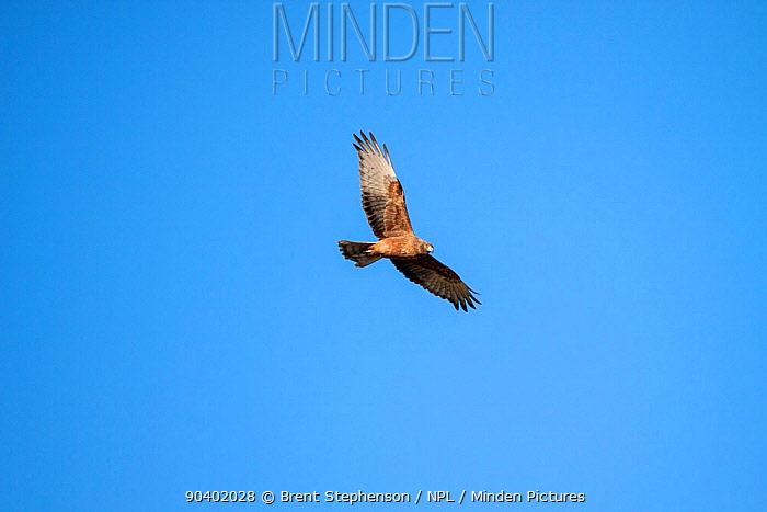 Juvenile Swamp harrier (Circus approximans) flying against a blue sky Westshore Lagoons, Hawkes Bay, New Zealand, September  -  Brent Stephenson/ npl
