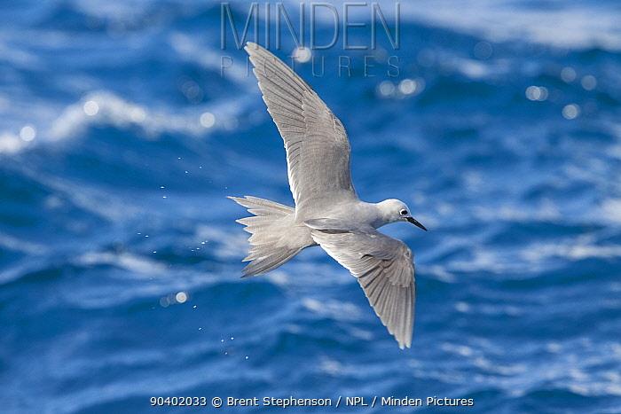 Adult Grey ternlet (Procelsterna cerulea) in flight over the sea whilst feeding Rangiroa, Tuamotu Islands, French Polynesia September  -  Brent Stephenson/ npl
