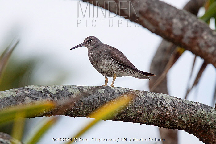 Adult Wandering tattler (Tringa incana) moulting out of breeding plumage, standing on the branch of a Pandanus bush Henderson Island, Pitcairn Islands, South Pacific September  -  Brent Stephenson/ npl