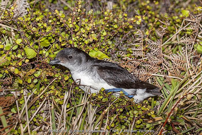 Adult Common diving petrel (Pelecanoides urinatrix) on the ground near its breeding burrow Mokohinau Islands, Hauraki Gulf, New Zealand, October  -  Brent Stephenson/ npl