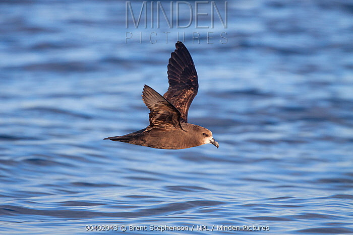 Adult Grey-faced petrel (Pterodroma gouldi) flying at sea, showing the pale face and underwing pattern Hauraki Gulf, Auckland, New Zealand, October  -  Brent Stephenson/ npl
