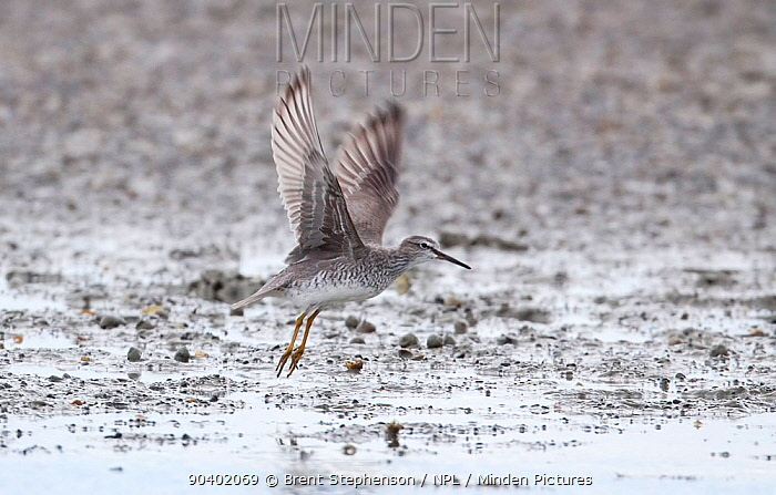 Adult Grey-tailed tattler (Tringa brevipes) moulting into breeding plumage, taking off from the mudflats Ahuriri Estuary, Hawkes Bay, New Zealand, February  -  Brent Stephenson/ npl