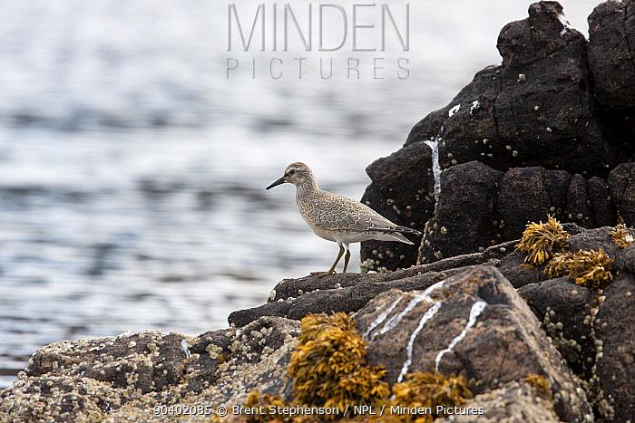 Juvenile Red knot (Calidris canutus) standing on the shoreline, fresh plumage Inverewe, Highland, Scotland August  -  Brent Stephenson/ npl
