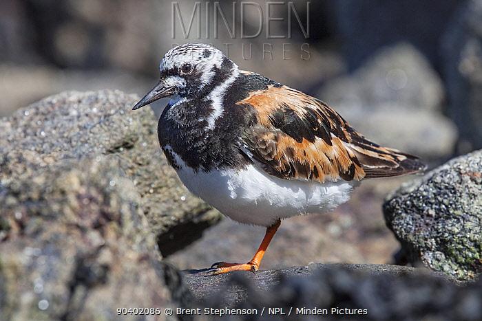 Adult male Turnstone (Arenaria interpres) in breeding plumage, resting on a rock on the shoreline St Malo, Brittany, France September  -  Brent Stephenson/ npl