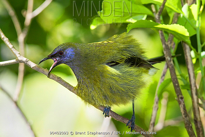 Adult male Bellbird (Anthornis melanura) perched on a branch and puffed up calling in an aggressive display Tiritiri Matangi Island, Auckland, New Zealand, September  -  Brent Stephenson/ npl