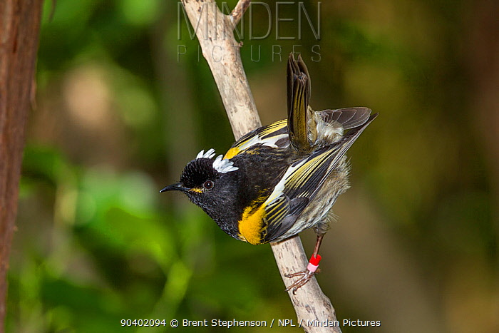 Male Stitchbird (Notiomystis cincta) perched on a branch, with tail cocked in characteristic pose Tiritiri Matangi Island, Auckland, New Zealand, September Vulnerable species  -  Brent Stephenson/ npl