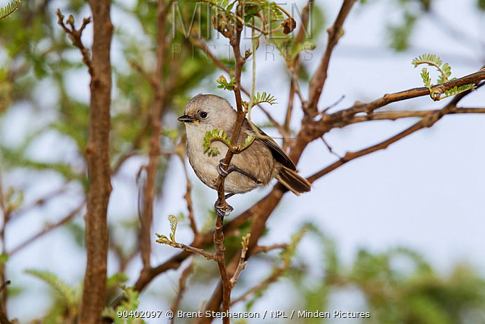 Juvenile Whitehead (Mohoua albicilla) in worn plumage, foraging in the outer branches of a shrub Tiritiri Matangi Island, Auckland, New Zealand, September  -  Brent Stephenson/ npl