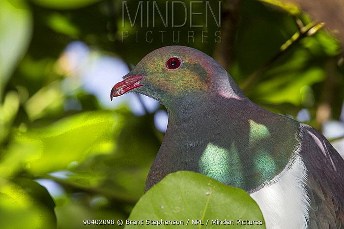 Immature New Zealand pigeon (Hemiphaga novaeseelandiae) showing iridescent plumage around the head but no red eye ring Tiritiri Matangi Island, Auckland, New Zealand  -  Brent Stephenson/ npl