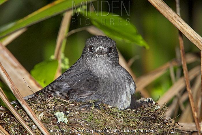Adult female North Island robin (Petroica longipes) brooding chicks at the nest Tiritiri Matangi Island, Auckland, New Zealand, September  -  Brent Stephenson/ npl