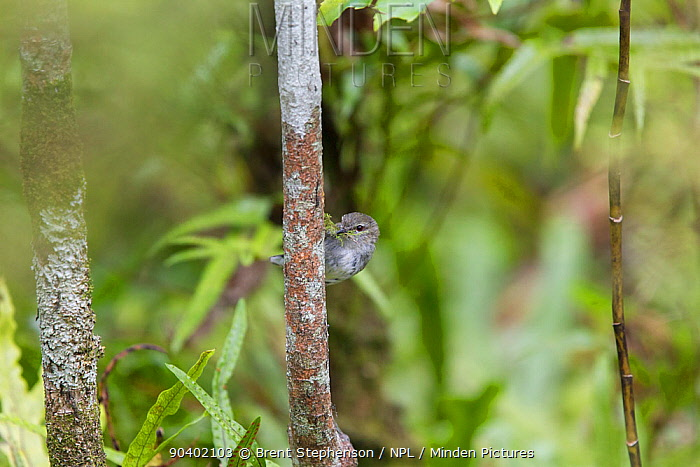 Adult female Grey warbler (Gerygone igata) with nesting material in her bill Kaikoura, Canterbury, New Zealand, October  -  Brent Stephenson/ npl