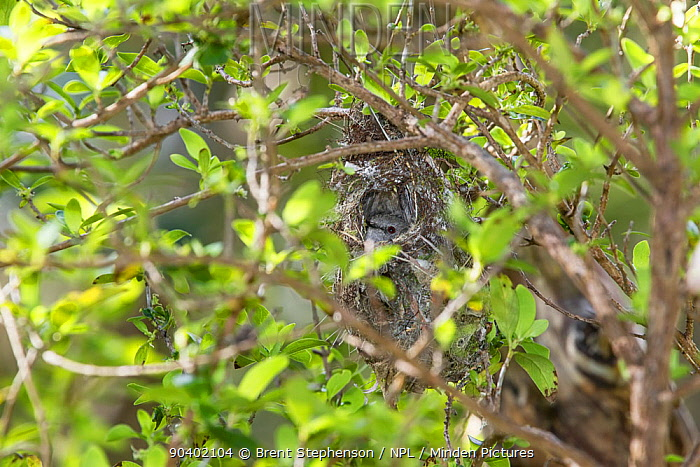 Adult female Grey warbler (Gerygone igata) incubating eggs in the dome-shaped nest Kaikoura, Canterbury, New Zealand, October  -  Brent Stephenson/ npl