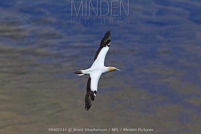 Australasian gannet (Morus serrator) in flight against the sea, near the breeding colony Muriwai, Auckland, New Zealand, November  -  Brent Stephenson/ npl