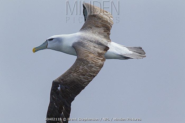 Adult White-capped albatross (Thalassarche cauta) in flight showing the upperwing Off Stewart Island, New Zealand, November Near threatened  -  Brent Stephenson/ npl