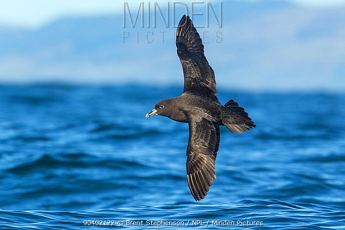 White-chinned petrel (Procellaria aequinoctialis) in flight over the water, showing the upperwing This bird has aberrant plumage with a white eye-ring Kaikoura, Canterbury, New Zealand, February Vulnerable species  -  Brent Stephenson/ npl