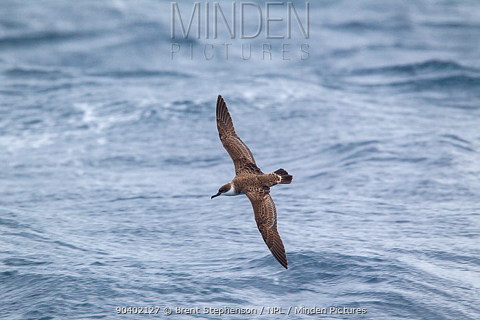Great shearwater (Puffinus gravis) in flight at sea, showing the pale collar and upperwing pattern Off Stewart Island, New Zealand, April  -  Brent Stephenson/ npl