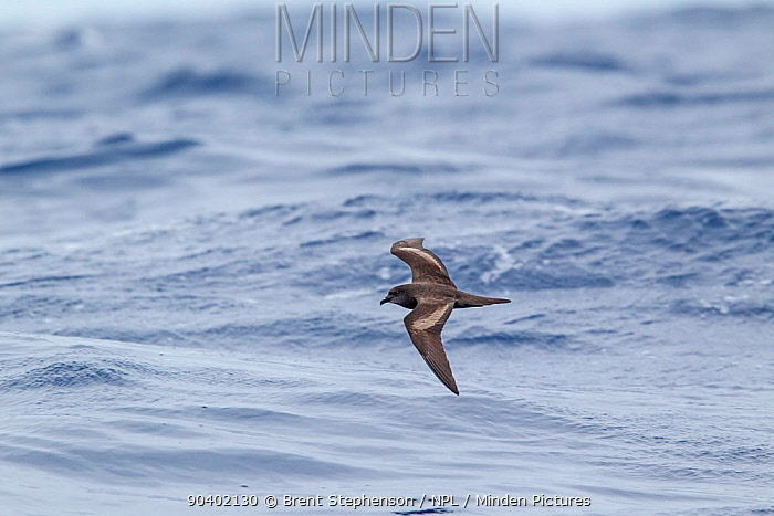 Bulwers petrel (Bulweria bulwerii) flying low over the water, showing distinctive upperwing pattern Off Madeira, North Atlantic May  -  Brent Stephenson/ npl