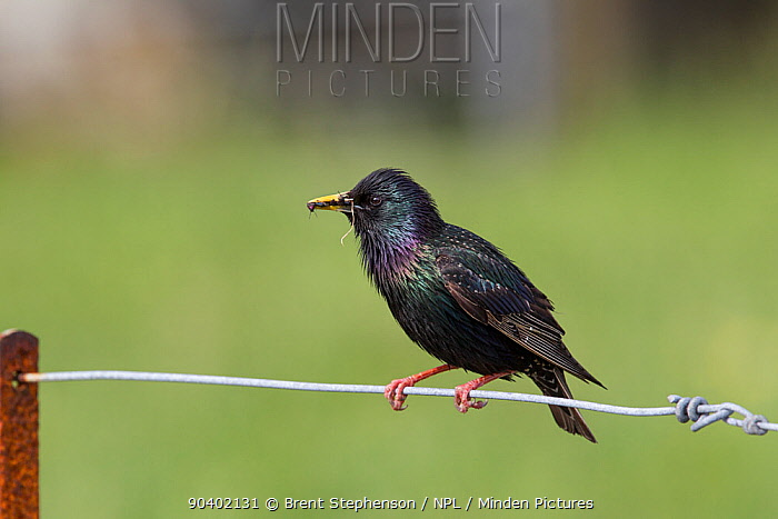 Adult male Common starling (Sturnus vulgaris) in worn plumage, perched on a fence with food in its bill ready to feed its chicks Iona, Inner Hebrides, Scotland May  -  Brent Stephenson/ npl