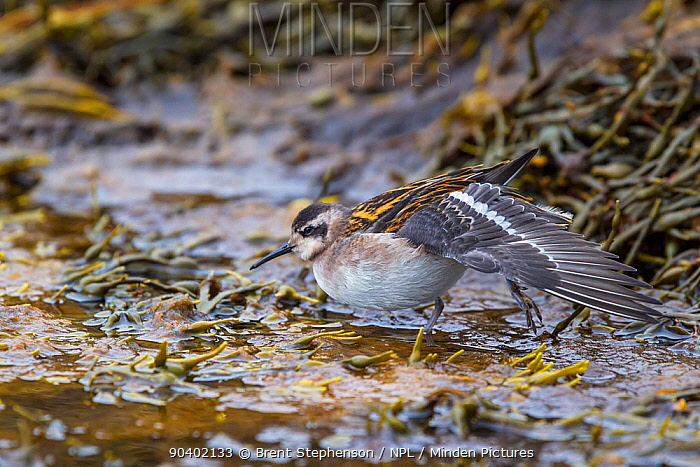Adult male Red-necked stint (Phalaropus lobatus) moulting out of breeding plumage, stretching its wing whilst standing in shallow water Flatey, Western Fjords, Iceland July  -  Brent Stephenson/ npl
