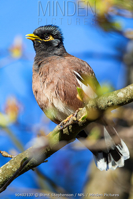 Adult Common myna (Acridotheres tristis) in fresh plumage, perched amongst the branches of a tree Havelock North, Hawkes Bay, New Zealand, September Introduced species in New Zealand  -  Brent Stephenson/ npl