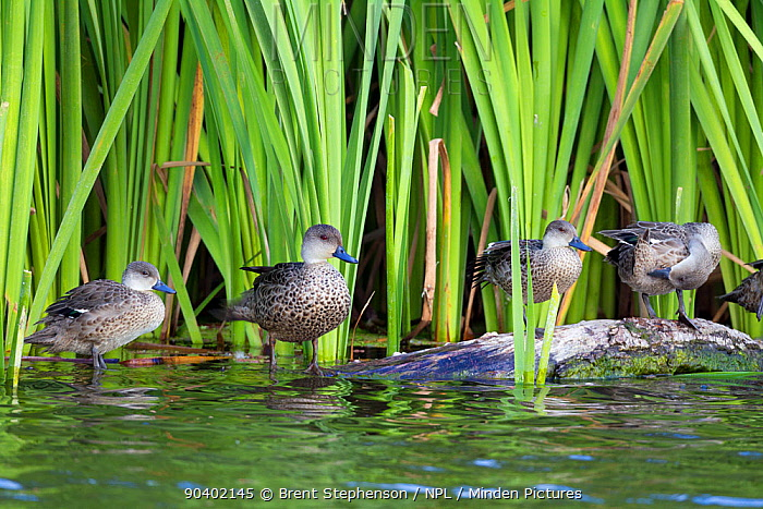 A spring of Grey teal (Anas gracilis) perching on a log on the edge of a pond Included in the photo are from left to right, a juvenile, an adult, and two immatures Te Awanga Lagoon, Hawkes Bay, New Zealand, November  -  Brent Stephenson/ npl