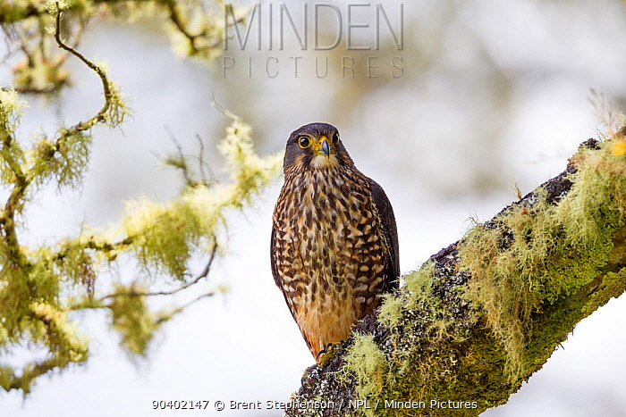 Adult female New Zealand falcon (Falco novaeseelandiae ferox) perched on a lichen covered branch within the forest canopy Boundary Stream Mainland Island, Hawkes Bay, New Zealand, November  -  Brent Stephenson/ npl